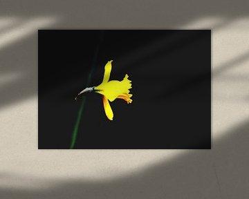 Makro einer gelben Narzisse auf mattschwarzem Hintergrund von Ribbi The Artist