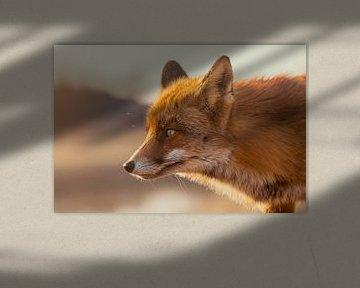 Fuchs von Christophe Van walleghem