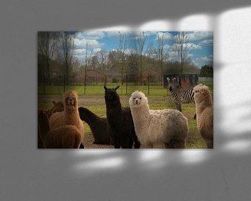 Een kudde alpaca's en een zebra van J..M de Jong-Jansen