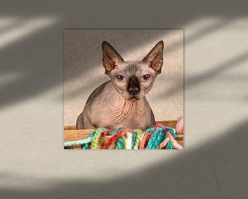 nackte Katze Sphynx von Tony Wuite