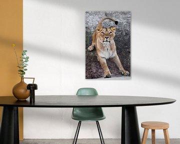 klaar om te springen. roofzuchtige interesse van een grote kat portret van een snuit van een nieuwsg van Michael Semenov