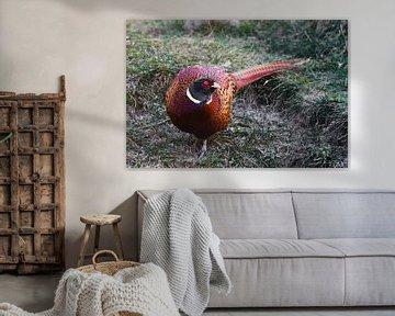 Leuchtend farbiger Fasan auf dem Gras, ein schöner fetter Vogel. von Michael Semenov