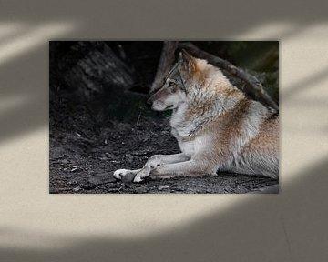 Die Wölfin liegt wunderschön am Boden, imposant liegt sie. Mächtiges graziöses Tier im Wald im Herbs von Michael Semenov