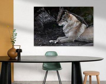 Wolfsweibchen liegt wunderschön am Boden, imposant liegt. Mächtiges graziöses Tier im Wald im Herbst von Michael Semenov
