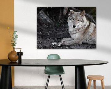 Bewertender Blick. Die Wölfin liegt schön am Boden, imposant liegt sie. Mächtiges graziöses Tier im  von Michael Semenov