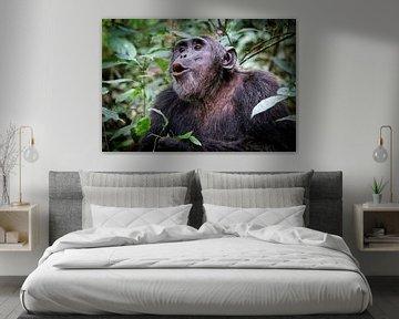 Chimpansee in Oeganda, Kibale Forest, wildernis van W. Woyke