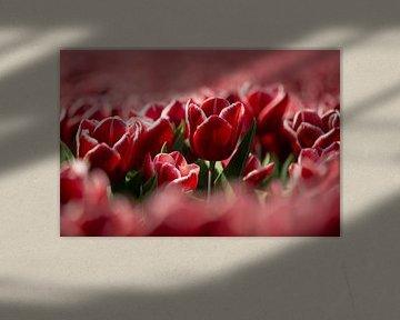Tulp van Astrid Volten