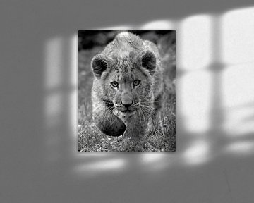 Afrikanisches Löwenjunges kommt zu Ihnen in schwarz-weiß von Patrick van Bakkum