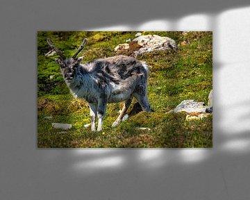 Svalbard Rentier von Kai Müller