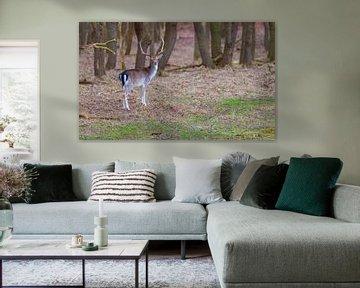 junges Damwild im Naturschutzgebiet Ruigenhoek von Compuinfoto .