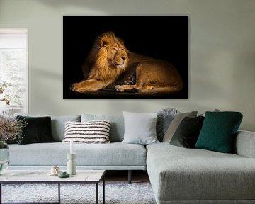 löwe auf schwarzem hintergrund. kraftvoller, gutaussehender löwenmann mit prächtigem haar liegt auf  von Michael Semenov
