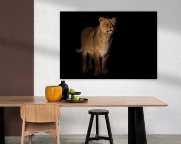 leeuwen op een zwarte achtergrond. leeuwin op een zwarte achtergrond. kijkt aandachtig toe. Een krac van Michael Semenov
