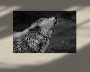 Le loup hurle en levant les yeux, une sombre photo en noir et blanc de tristesse et de nostalgie. gr sur Michael Semenov