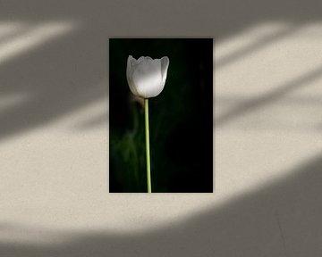 witte tulp van Günter Albers