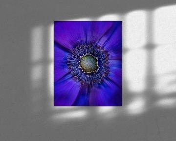 Purpuranemone von Bart Hendrix