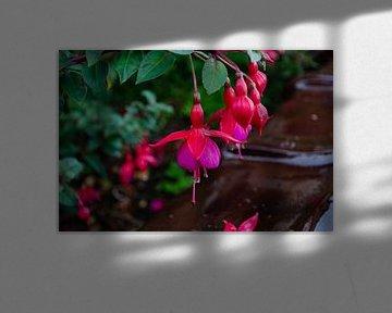 Eine schöne rot-violette Blume von Kim De Sutter