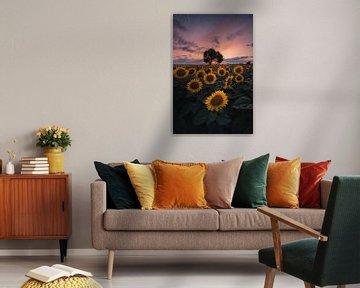 Sunflower sunset!
