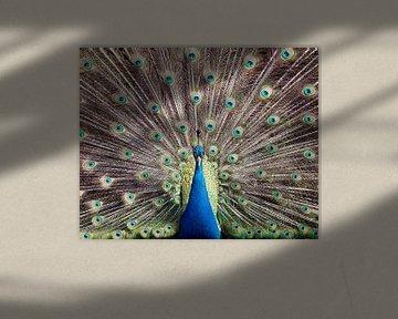 Pauw showt zijn pracht van Patrick van Bakkum