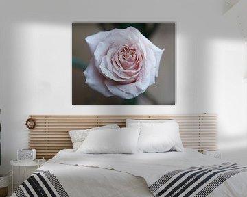 Lothringer Rose von Excellent Photo