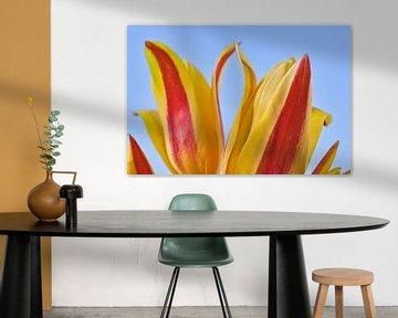De aanraking van 2 geel rode tulpen close up van JM de Jong-Jansen