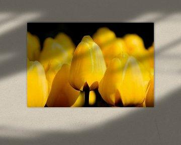 Gelbe Tulpen vor schwarzem Hintergrund von Rob Kints