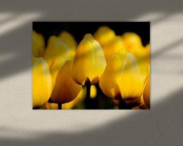 Blumenbeet mit gelben Tulpen auf schwarzem Hintergrund von Rob Kints