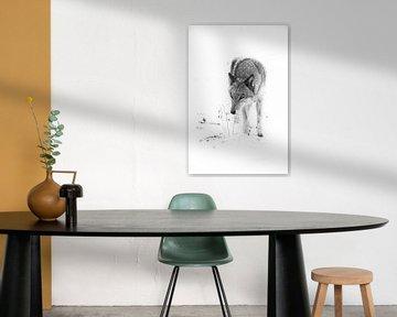 schwarz-weiß Heimtückischer Blick eines grauen Wolfes Graues Wolfsmännchen im Schnee, starkes Tier i von Michael Semenov