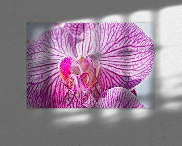 Rosa im Sonnenlicht von J..M de Jong-Jansen