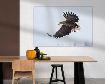 Seeadler mit Kadaver von Jessica Blokland van Diën