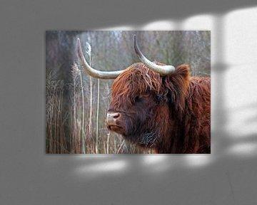 Hochland-Kuh von Edwin Butter