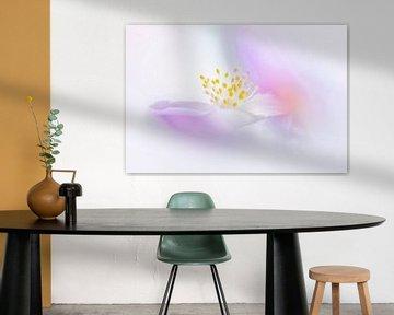 Colorful wood anemone van Bob Daalder