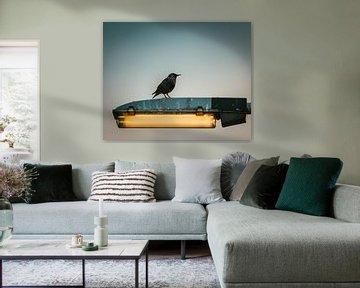 Spreeuw op lantaarnpaal in Nederland