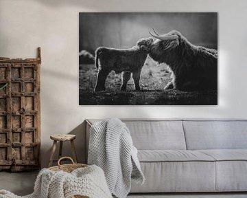 Zwart wit  Pasgeboren schotse hooglander kalf knuffelt met moeder koe