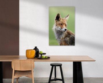 Rotfuchs ( Vulpes vulpes ), Fuchs wildlife, Kopfportrait. von wunderbare Erde