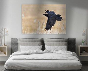 Kolkrabe ( Corvus corax ) im Flug von wunderbare Erde