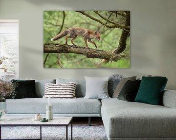 Rotfuchs ( Vulpes vulpes ) im Wald läuft über einen Baumstamm. von wunderbare Erde