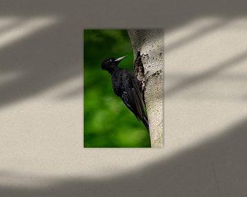 Schwarzspecht ( Dryocopus martius ), Weibchen an Spechthöhle, wildlife, Europa. von wunderbare Erde