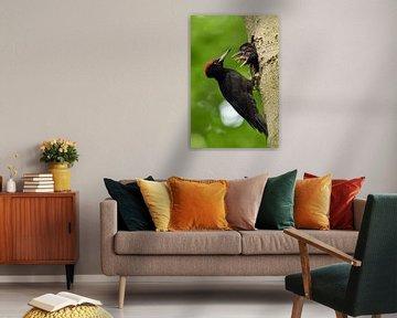 Zwarte specht ( Dryocopus martius ), die zijn jongen, wilde dieren, Europa voedt. van wunderbare Erde