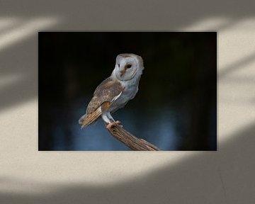 Kerkuil, Tyto alba van Gert Hilbink