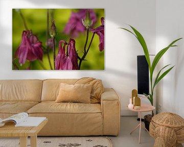 Aquilegia Blume in Blüte und Knospe von Jeffry Clemens