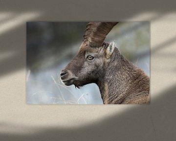 Steinbock / Alpensteinbock ( Capra ibex ), Kopfportrait, wildlife, Schweizer Alpen. von wunderbare Erde