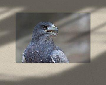 Aguja ( Geranoaetus melanoleucus ),  Greifvogel aus den Anden, Südamerika, Porträt von wunderbare Erde