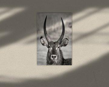 Waterbuck en Afrique du Sud