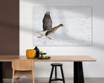 White-fronted gans ( Anser albifrons ), rennend om op te vliegen, wilde dieren, Europa. van wunderbare Erde