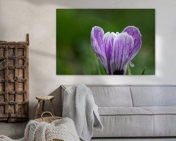 Paarse krokus bloem met regendruppels