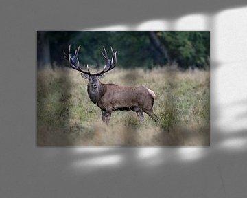 Rothirsch ( Cervus elaphus ), prächtiger Hirsch auf einer Lichtung im Wald. von wunderbare Erde