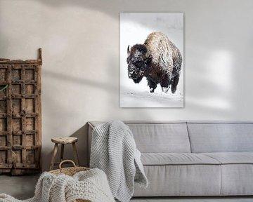 Amerikaanse Bison ( Bison bizon ) in de harde winter, de vacht ingelegd met sneeuw en ijs, wild, USA van wunderbare Erde
