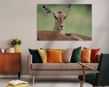 portrait d'une Impala dans le parc Kruger
