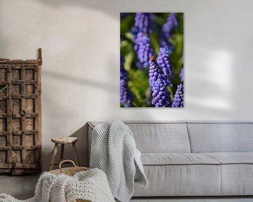 coccinelle sur les fleurs violettes du raisin bleu sur Robin Verhoef