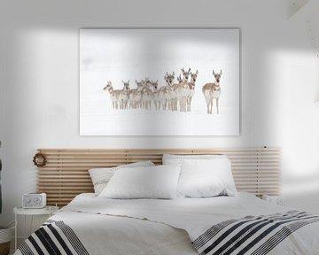 Pronghorns / Gabelböcke / Gabelantilopen ( Antilocapra americana ), Herde im Winter, Yellowstone NP, von wunderbare Erde